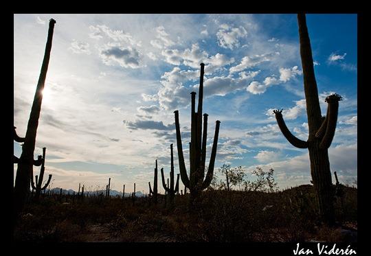 Huge saguaros