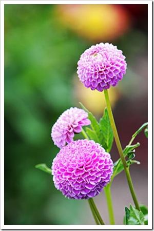 070811_flowers4