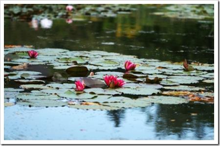 070811_waterlilies2