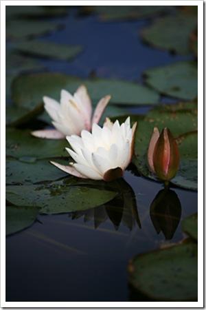 070811_waterlilies