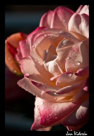 080620_rose