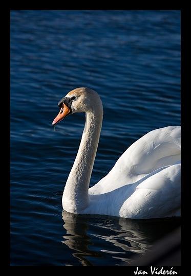 080620_swan